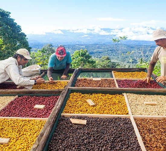 Variedades cafés exóticos en Costa Rica