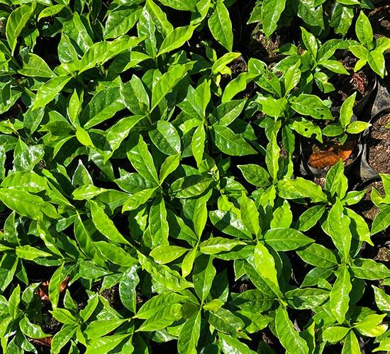 Plantación de café